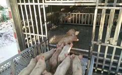 非洲猪瘟,国家出台相关畜禽运输车新政策图片